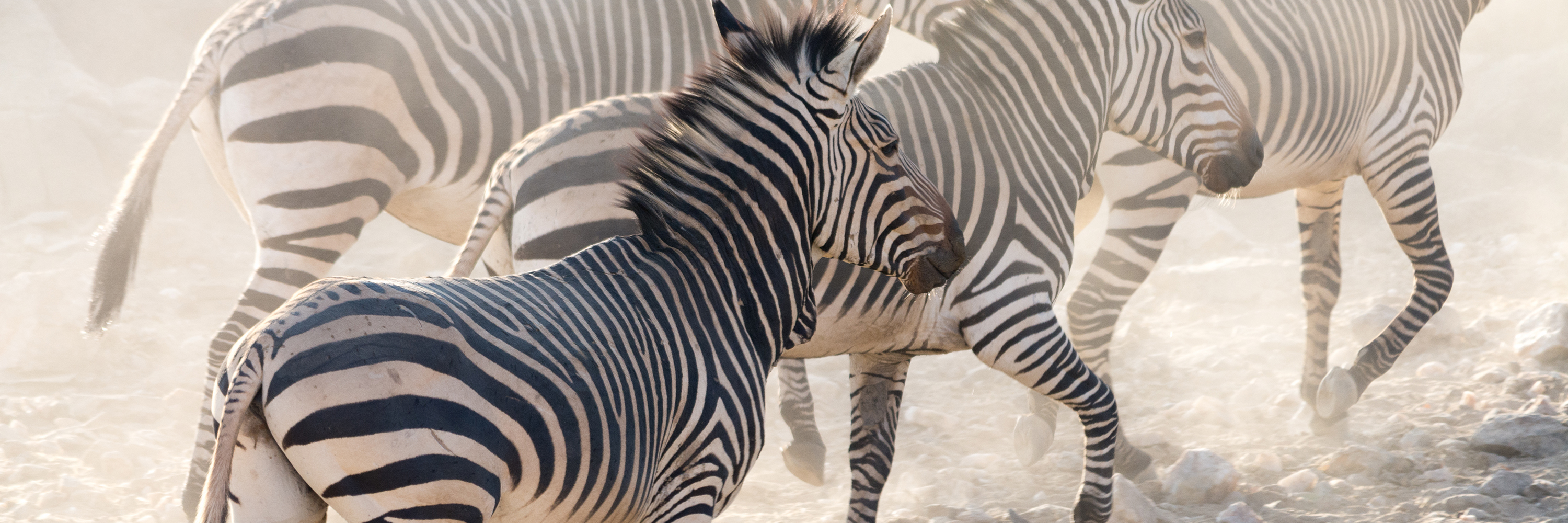 zebras - cullinan namibia about us