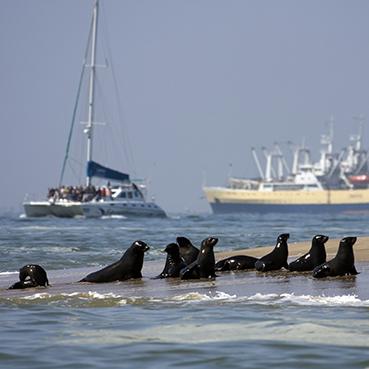 Pod of seals - Cullinan Namibia