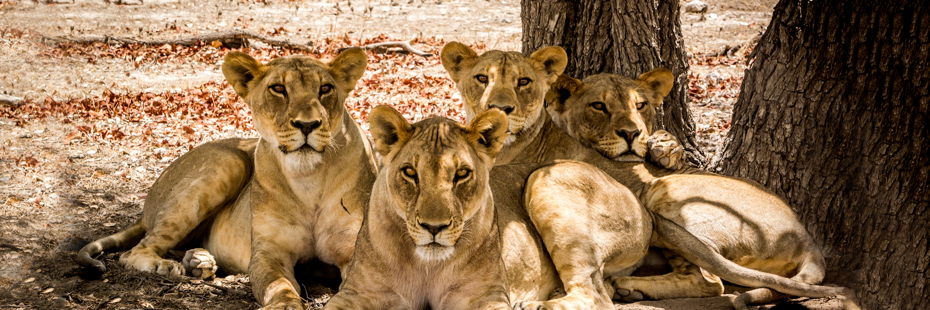 pack of lions lying down - cullinan namibia contact