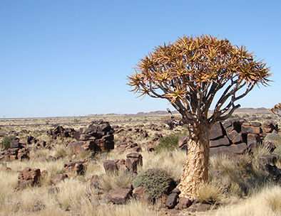 Fevertrees are iconic to the Damaraland landscape