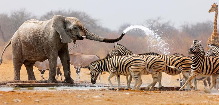 Elephant spraying Zebra with water - Cullinan Namibia