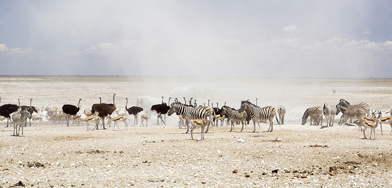 herd of zebra and ostrich - cullinan namibia