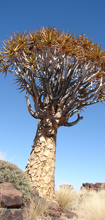 Fever tree in Damaraland - Namibia Southern Odyssey