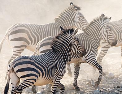 Jostling zebra jog across the the stones
