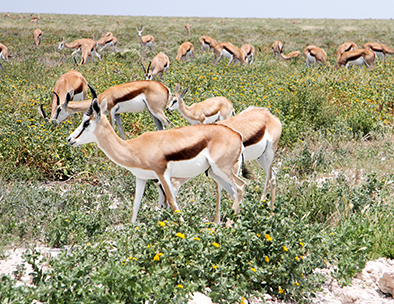 A herd of springbok in Etosha National Park