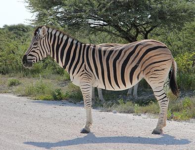 A plains zebra in Etosha