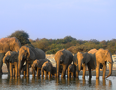 A herd of elephant drink at a waterhole