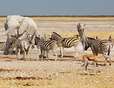 A typical waterhole scene in Etosha National Park