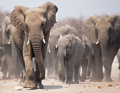 A dusty elephant herd approaches a waterhole