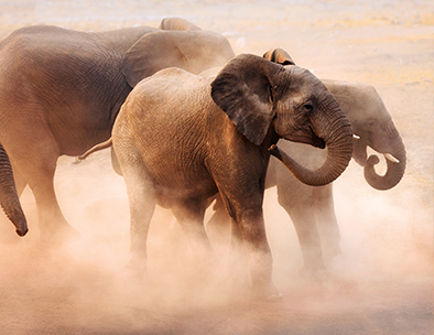 Young elephants dust bathe in Etosha