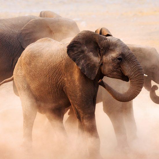 elephants in the dust