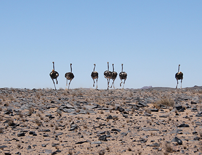 Ostriches in Damaraland - Fly Drive Tours