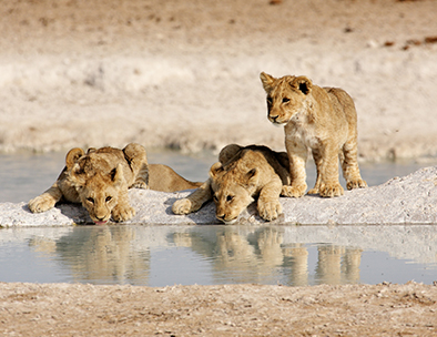 Lion cubs Etosha - Guided Tours in Namibia
