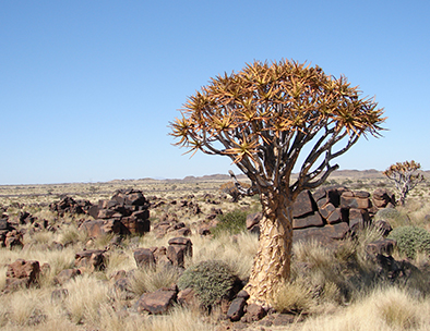 Fevertree - Guided Tours in Namibia