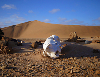 An animal scull on the shores of the Skeleton Coast