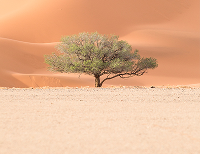 lone tree in the namib desert