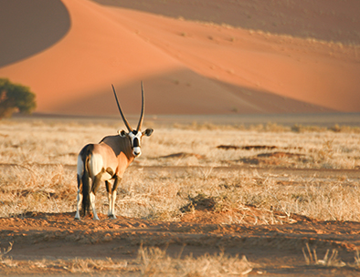 a lone gemsbok in namibia