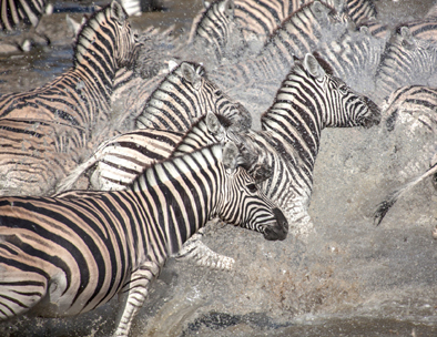 A herd of zebra scramble through the water