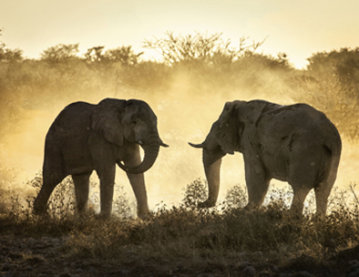 Two young elephant mockcharge