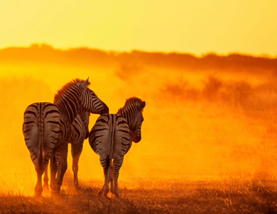 A group of zebras in the morning dust